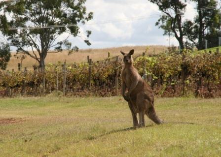 История австралийских вин