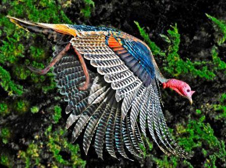 История Wild Turkey