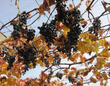 Автохронные сорта винограда