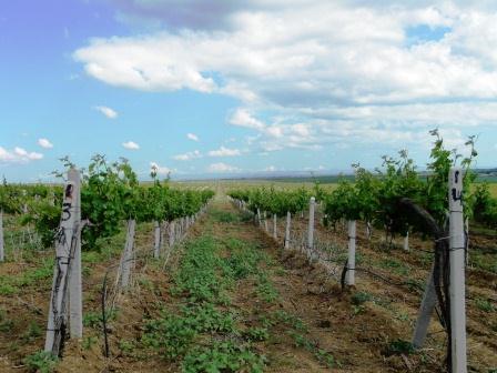 История крымских вин – Средневековье