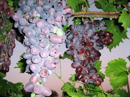 История крымских вин – под властью России
