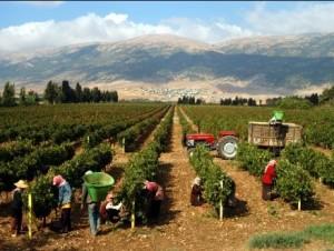 История ливанских вин